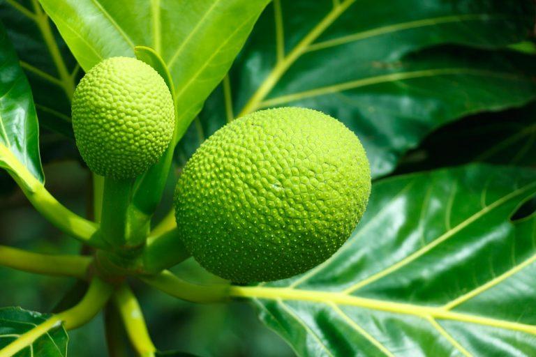 breadfruit caribbean