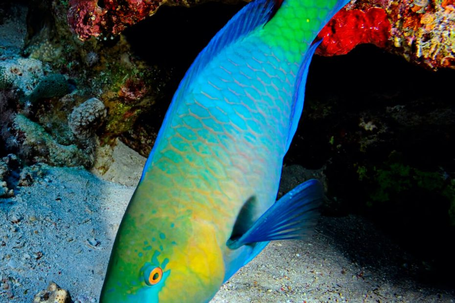 exceptional caribbean - parrot fish