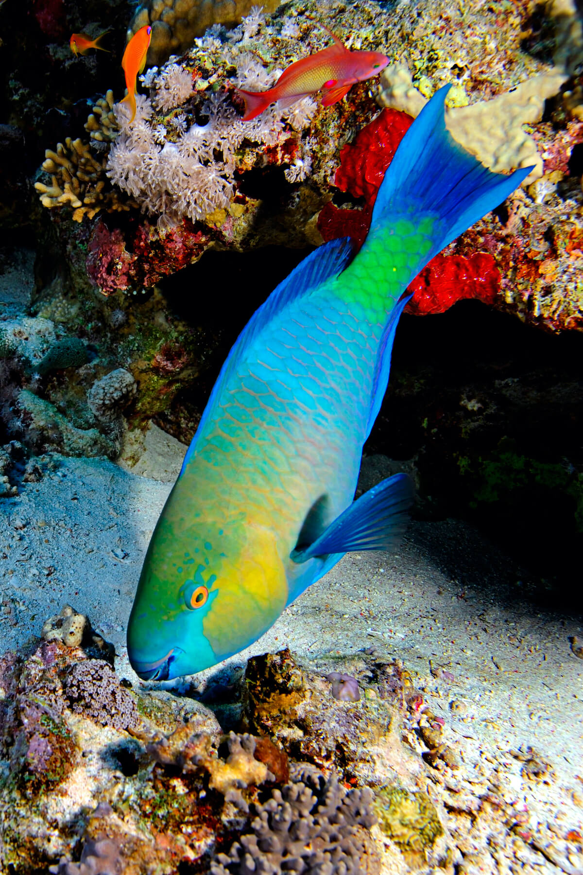 exceptional caribbean parrot fish